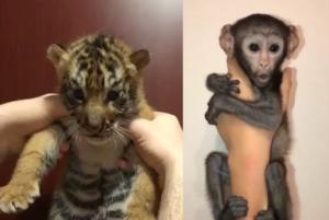 Как звезды Инстаграма рекламируют подпольную торговлю животными в Дубае